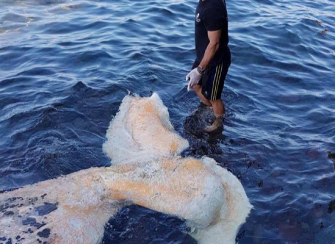 Σαντορίνη: Άνοιξαν το στομάχι της τεράστιας φάλαινας και δεν πίστευαν στα μάτια τους