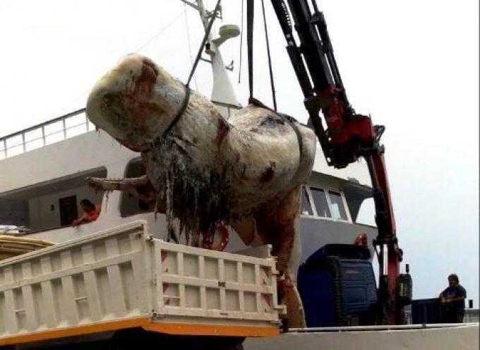 O Δήμος Θήρας προχώρησε χθες με επιτυχία στην περισυλλογή της νεκρής φάλαινας που ξεβράστηκε στο Ακρωτήρι