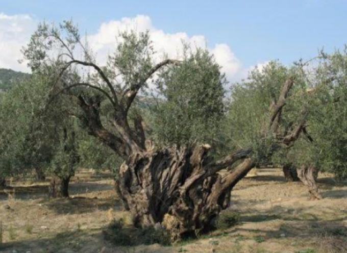 Κάλεσμα συμμετοχής στην προστασία αιωνόβιων ελαιοδέντρων από την Περιφέρεια