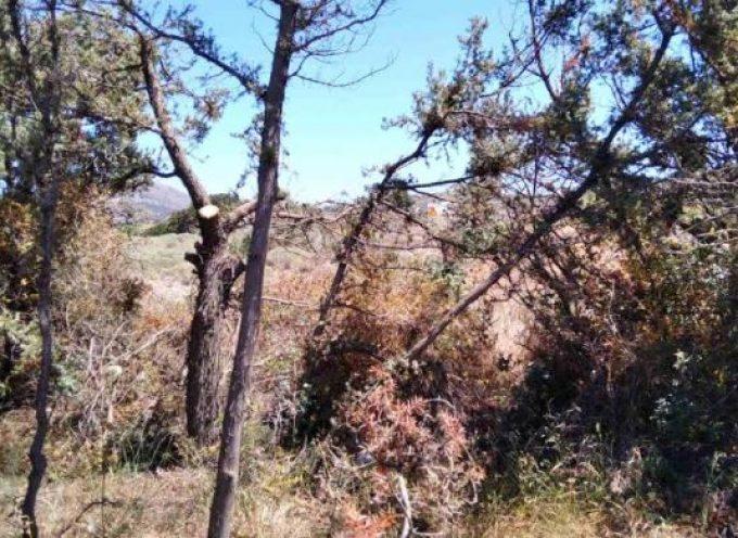 Δήμος Νάξου & Μικρών Κυκλάδων: Ενεργοποίηση για την αντιμετώπιση της προσβολής των κεδροδασών της Νάξου
